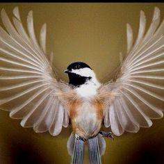 swallow wings